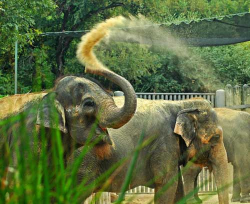 Adaptations - Asian Elephants